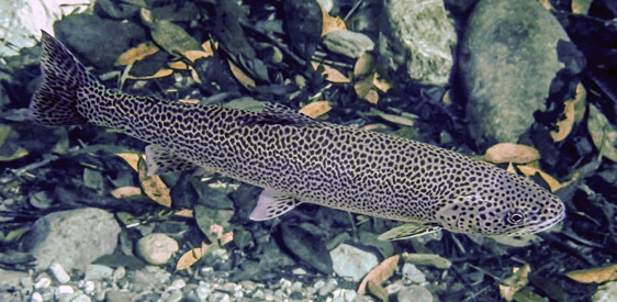 Heritage Trout Water Designation for Upper S. Fork